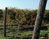 Vinova loza iz Negotinske krajine