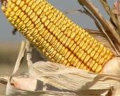 Kukuruz i dalje na njivama