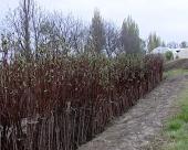 Pravilna sadnja voćnih sadnica