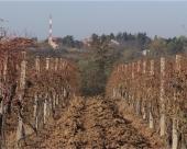 Radovi u vinogradu posle berbe