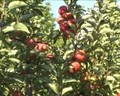 Proizvodnjom jabuka do stabilnih prinosa