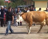 Izložba krava i junica u Bojniku