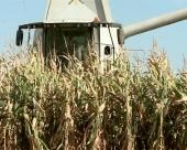 Počinje otkup kukuruza