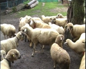 Preventivna zaštita ovaca