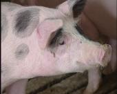 Otkup tovnih svinja za robne rezerve