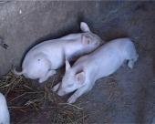 Od 1.januara sveobuhvatna vakcinacija svinja