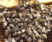 Obrenovačko društvo pčelara