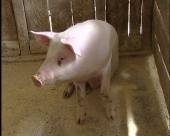 Više novca za makedonske svinjare