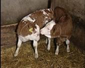 Poziv poljoprivrednicima da umatiče goveda