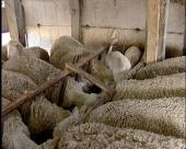 Subvencije za veći broj farmi ovaca