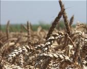 Pšenica beleži pad u izvozu