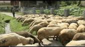Gajenje ovaca ipak se isplati