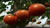 Povećati kontrolu voća iz uvoza