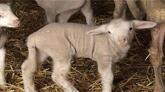 Mlečnost ovaca