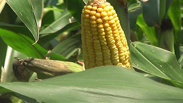 15 % više oranica pod kukuruzom