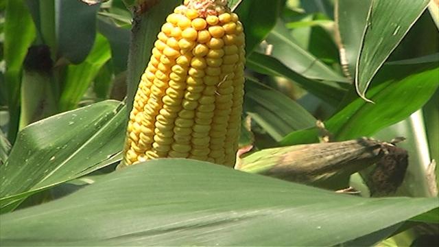 Izbor odgovarajućeg hibrida kukuruza