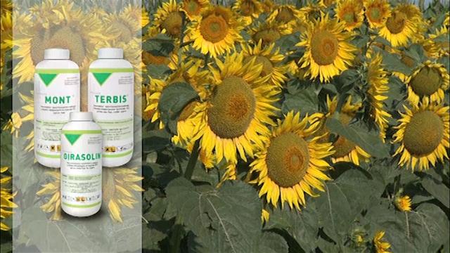 Herbicidi za suncokret