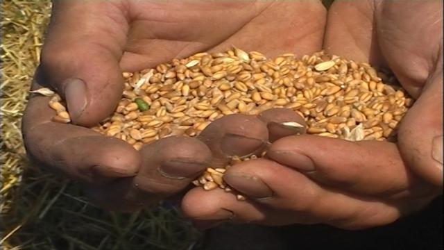 Otkup pšenice na osnovu kvaliteta