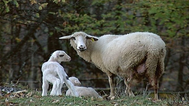 Nadun kod goveda i ovaca