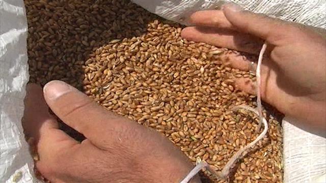 Cena kukuruza veća od cene pšenice