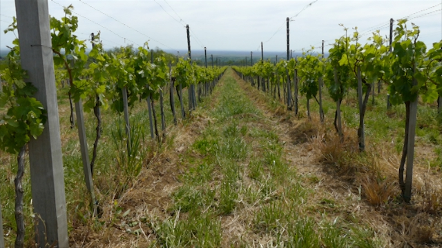Sezonski radovi u vinogradu
