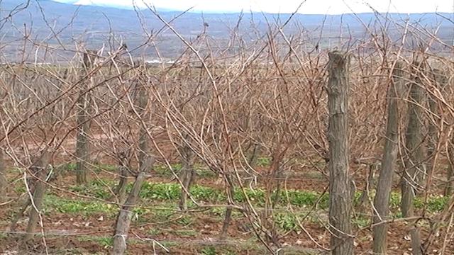 Vinske sorte vole jug Srbije