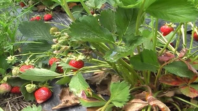 Kiša muči šumadijske jagode