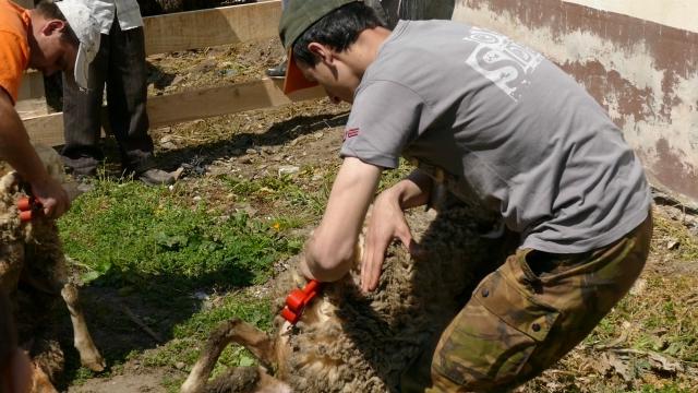 Šišanje ovaca i činganje
