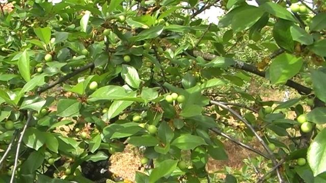 Zaštita i prihrana koštičavog voća