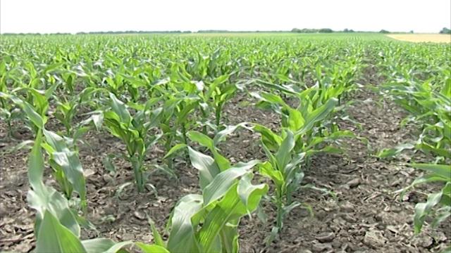 Štetočine kukuruza