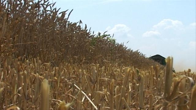 Pšenica na 15 dinara