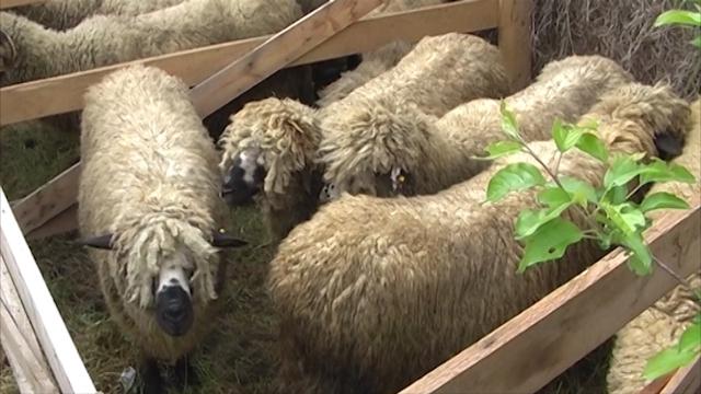 Broj ovaca u porastu