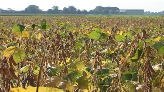 Srbija veliki proizvodjač soje