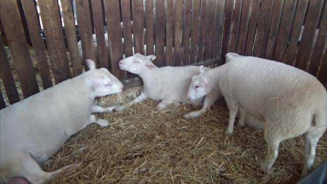 Nova rasa ovaca