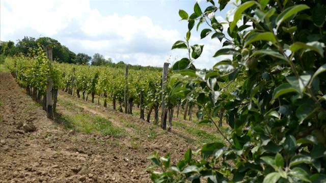 Fruškogorsko vinogorje