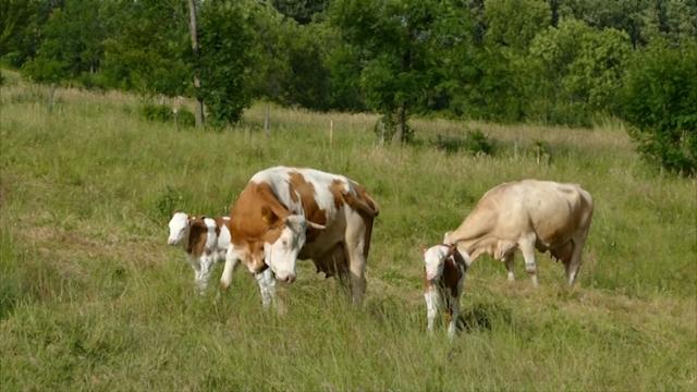 Zlatiborski stočari