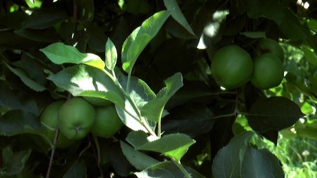 Ukusno voće iz Topole