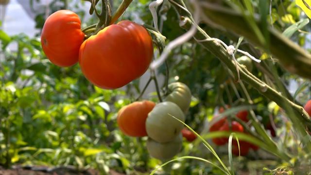 Redak uzgoj paradajza jabučara