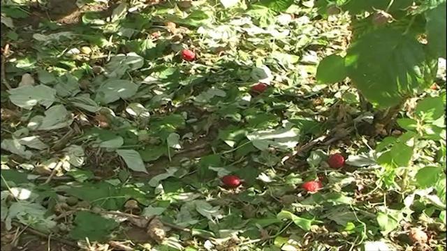 Rod voća za 30 odsto manji