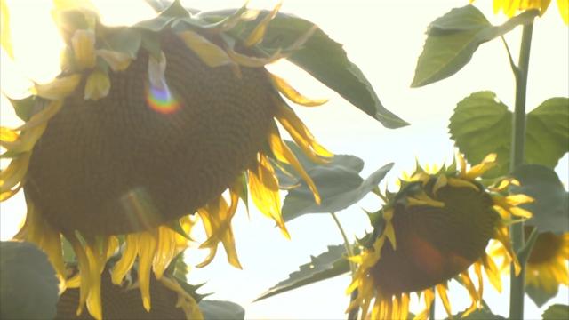 Suncokret u Šumadiji