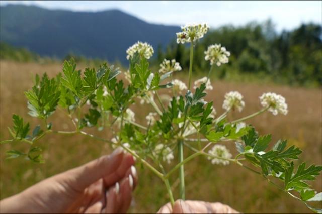 Najlekovitije bilje na planinskim vrhovima