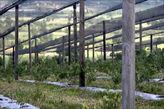 Proizvodnja borovnice- perspektiva za budućnost