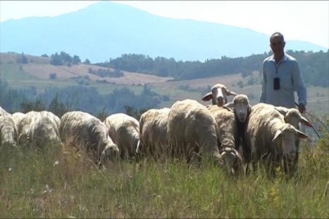 Više ovaca, isti broj uzgajivača