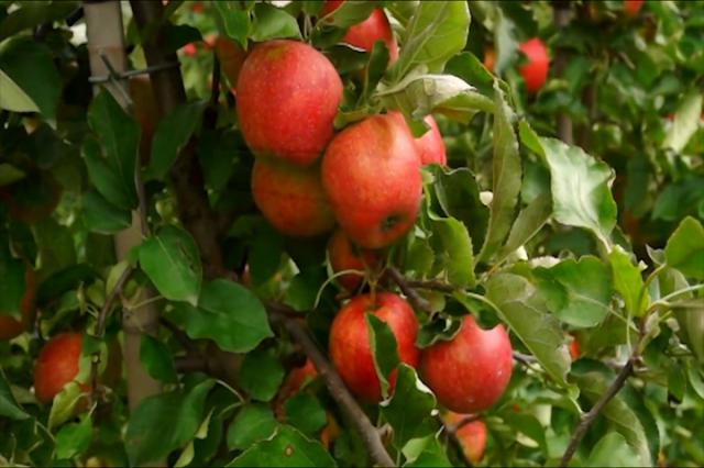 Odakle su zaražene jabuke?