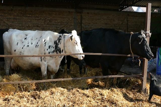 Zdrava krava, zdravo mleko