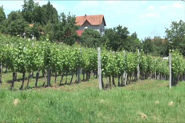 Visokokvalitetno vino iz Kraljevog podruma