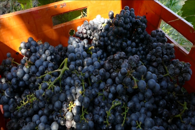 Manje vinograda, ali bolji kvalitet vina