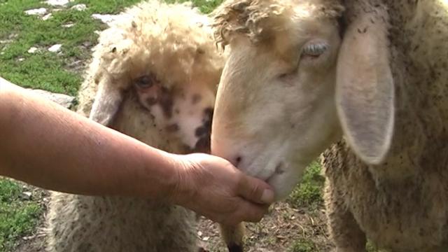 Očuvati svrljišku ovcu