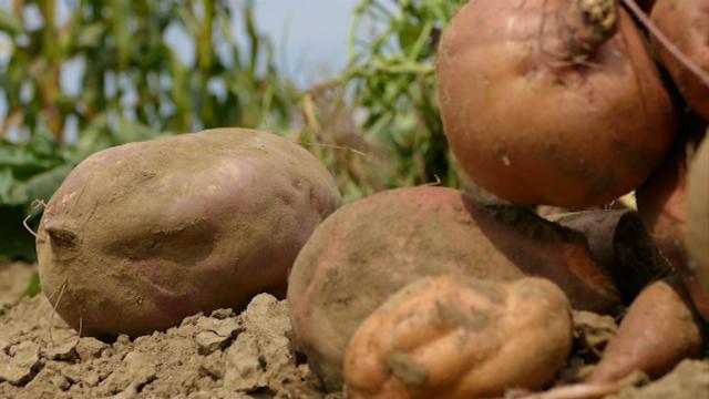 Krompir budućnosti