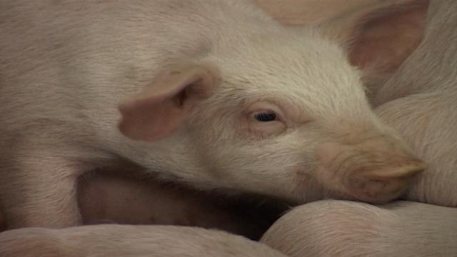 Karantin za svinje iz uvoza 30 dana